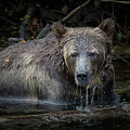 Grizzly by Randy Hall