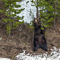 Grizzly Shaking A Tree by Yeates Photography