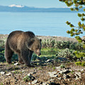 Grizzly Sow At Yellowstone Lake by Sandra Bronstein