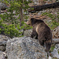 Grizzly Sow In Yellowstone Park by Yeates Photography