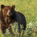 Grizzly by Terry Hawthorne