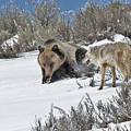 Grizzly With Coyote by Gary Beeler