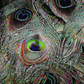 Groovy Peacock by Judy Whitton