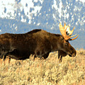 Gros Ventre Moose by Adam Jewell