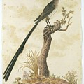 Grote Kaapse Suikervogel by Robert Jacob Gordon