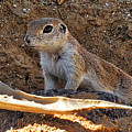 Ground Squirrel by Beth Morris