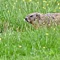 Groundhog In A Field Of Flowers by Jeramey Lende