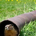 Groundhog In A Pipe by Will Borden