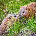 Groundhog Mother Love by Alex Papp
