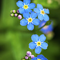 Group Of Blue Flowers Forget-me-not by Jozef Jankola