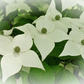 Group Of Chinese Dogwoods by Carol A Commins