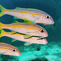 Group Of Goatfish by Jean Noren