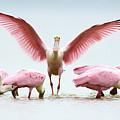 Group Of Roseate Spoonbills by Juan Bahamon
