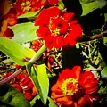Group Of Small Red Zinnia's by Debra Lynch