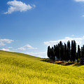 Group Of Tuscan Cypresses by Wolfgang Stocker