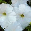 Group Of White Flowers by Ken Hurst
