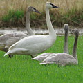 Group Of Young Swans by Jeff Swan