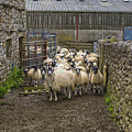 Group Yorkshire Sheep by Patricia Hofmeester