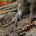 Grouse Feet by Timothy Flanigan