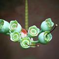 Growing Blueberries by Kim Henderson