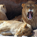 Growling Male Lion In Den With Two Females by Reimar Gaertner