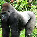 Grumpy Gorilla II by Stacey May
