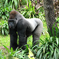 Grumpy Gorilla IIi by Stacey May