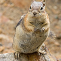 Grumpy Squirrel by Chris Scroggins