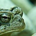 Grumpy Toad by Douglas Barnett