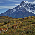 Guanacos In Patagonia by Stuart Litoff