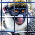 Guenon Monkey by Jean Haynes