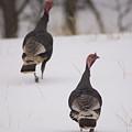 Guinea Fowl In The Snow Near Burwell by Joel Sartore