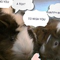 Guinea Pig Love And Bday Wishes by Barbara Searcy