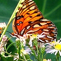 Gulf Fritillary 1 by J M Farris Photography