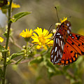 Gulf Fritillary Agraulis Vanillae Red Butterfly by Dustin K Ryan