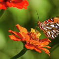 Gulf Fritillary Butterfly by Donna Brown