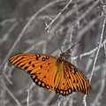 Gulf Fritillary Butterfly In The Brambles by Mitch Spence