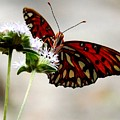 Gulf Fritillary Butterfly by Julie Pappas