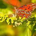 Gulf Fritillary Butterfly by Karen Baltzell