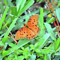 Gulf Fritillary Butterfly  by Ken Figurski