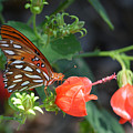Gulf Fritillary Butterfly On Beautiful Flowers  by Ruth  Housley