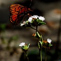 Gulf Fritillary Butterfly Too by Julie Pappas