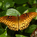Gulf Fritillary by David Lee Thompson