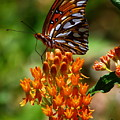 Gulf Fritillary On Butterflyweed by Barbara Bowen