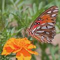 Gulf Fritillary On Marigold by Ronnie Maum