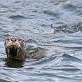 Gulf Islands Otter by Kevin Oke