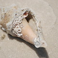 Gulf Of Mexico Shell by Rob Hans