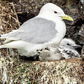 Gull Adult And Chick On Cliff by Joni Eskridge