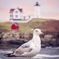 Gull At Nubble by Heather Applegate