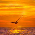 Gull At Sunrise by Allan Levin